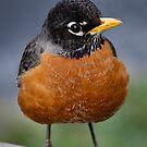 Robin by Douglas  Stucky
