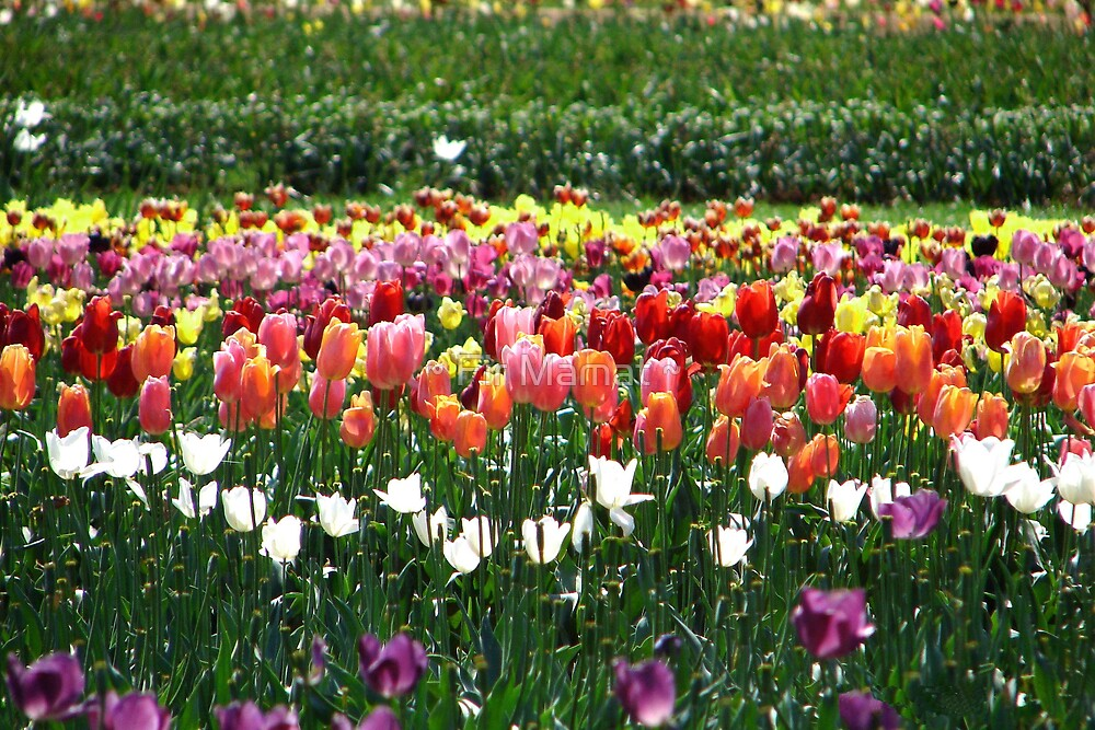 Tulips Field by ~ Fir Mamat ~