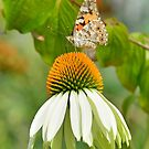 White Swan Echinacea with Butterfly by jojobob