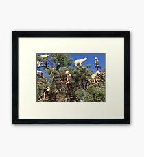 Goats in an argan tree Framed Print