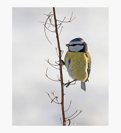 Blue Tit in winter Photographic Print
