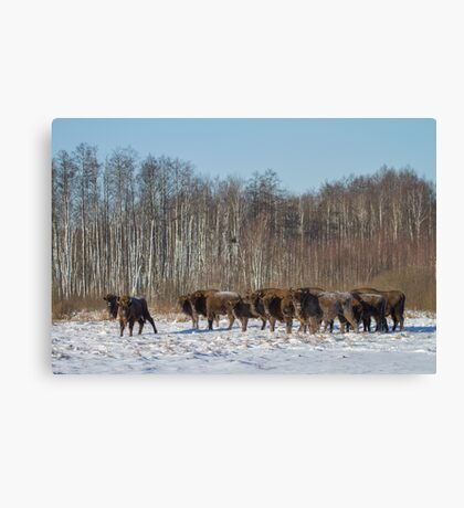 Bison Herd Canvas Print