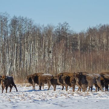 Bison Herd by domcia