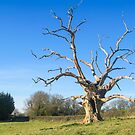 The old tree on the road from Stroud to Brockworth in Gloucester by Jeff  Wilson