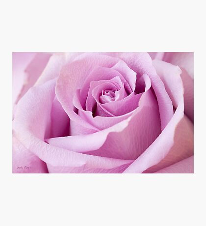 Lavender Rose Just About Perfect  Photographic Print