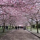 Cherry blossom by Aase