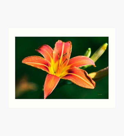 Orange Lily Art Print