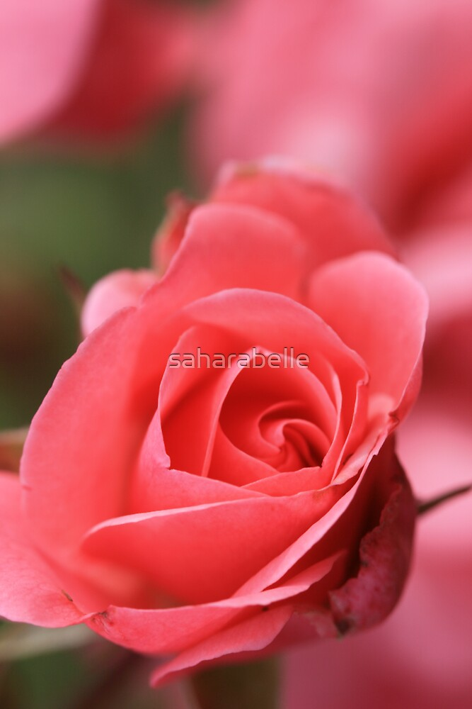 Pink Perfection by saharabelle
