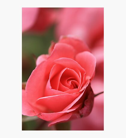 Pink Perfection Photographic Print