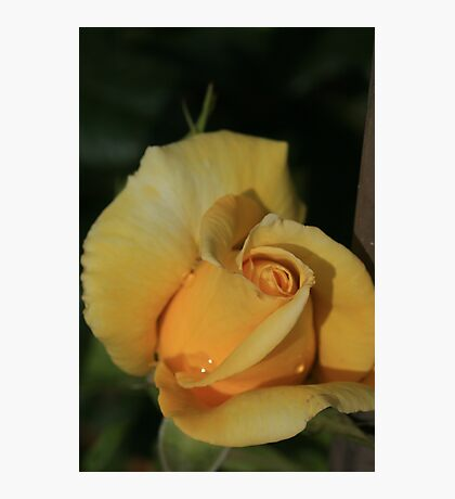 Yellow Collar Photographic Print