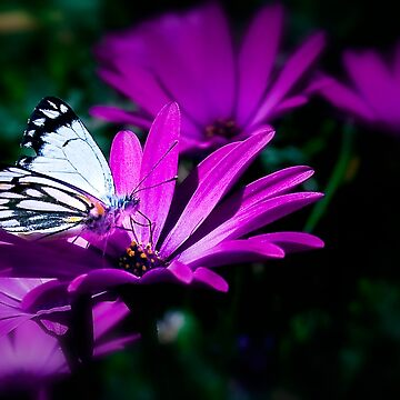 """""""Butterfly on Daisy""""- Stanthorpe by Ohlordi"""