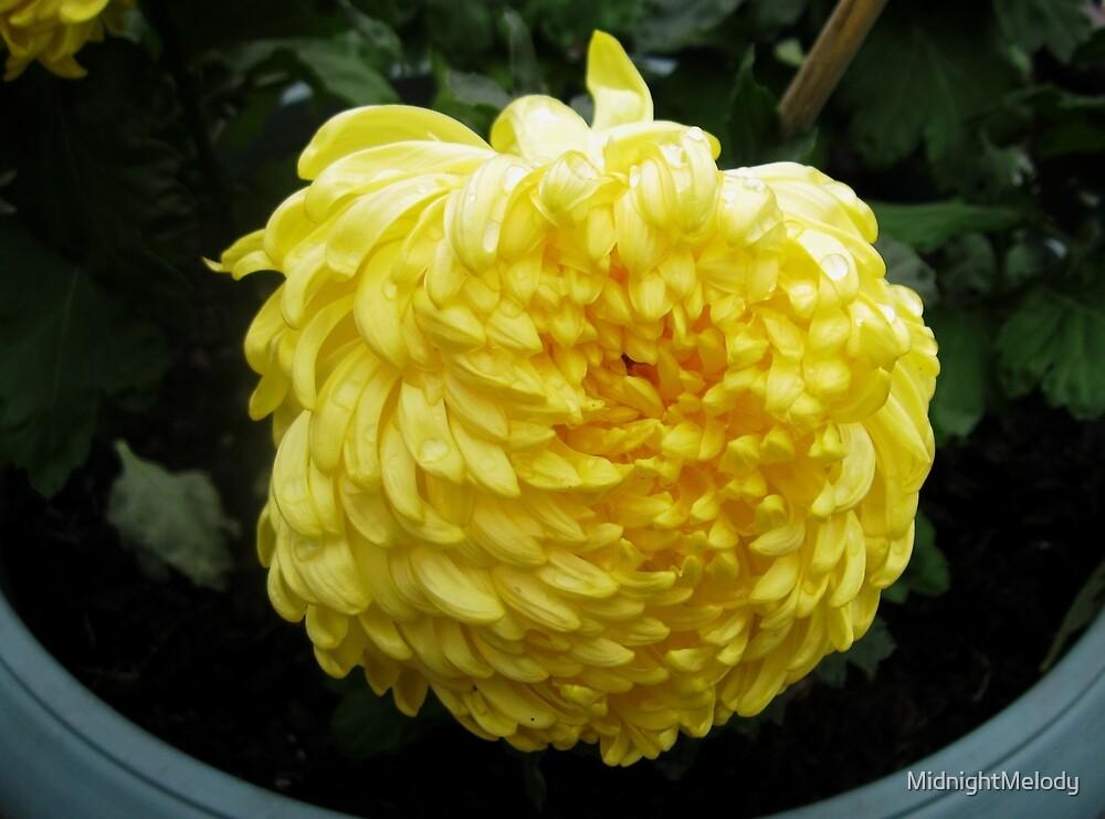 Incurving Yellow Chrysanthemum in the Rain by MidnightMelody