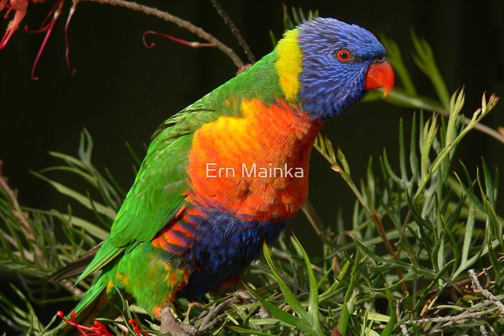 Rainbow Lorikeet by Ern Mainka