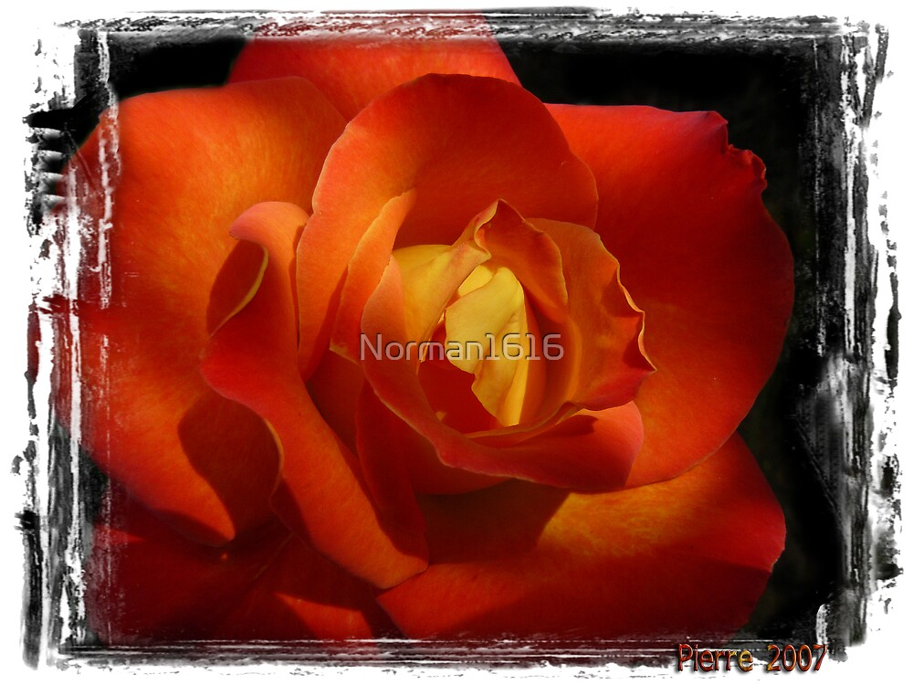 Rose by Norman1616