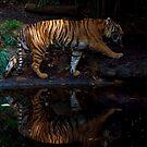 Tiger Tiger by Sara Lamond