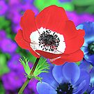 Red and White Poppy by TinaGraphics