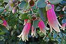 Correa Flowers by Graeme  Hyde