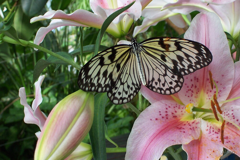 Butterfly by Alano