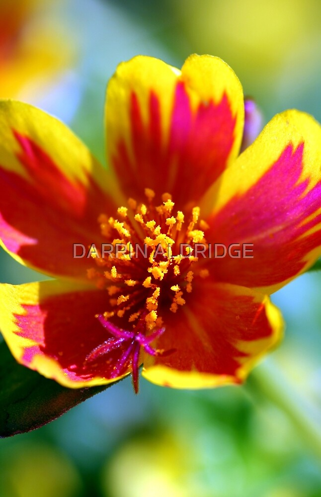 Red Fire Flower by DARRIN ALDRIDGE
