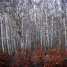 Silver Birch by Paul Vanzella