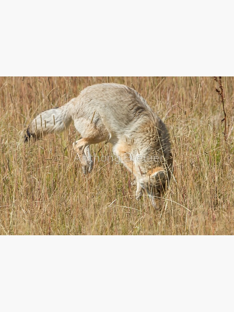 Coyote pounce 2 by dailyanimals