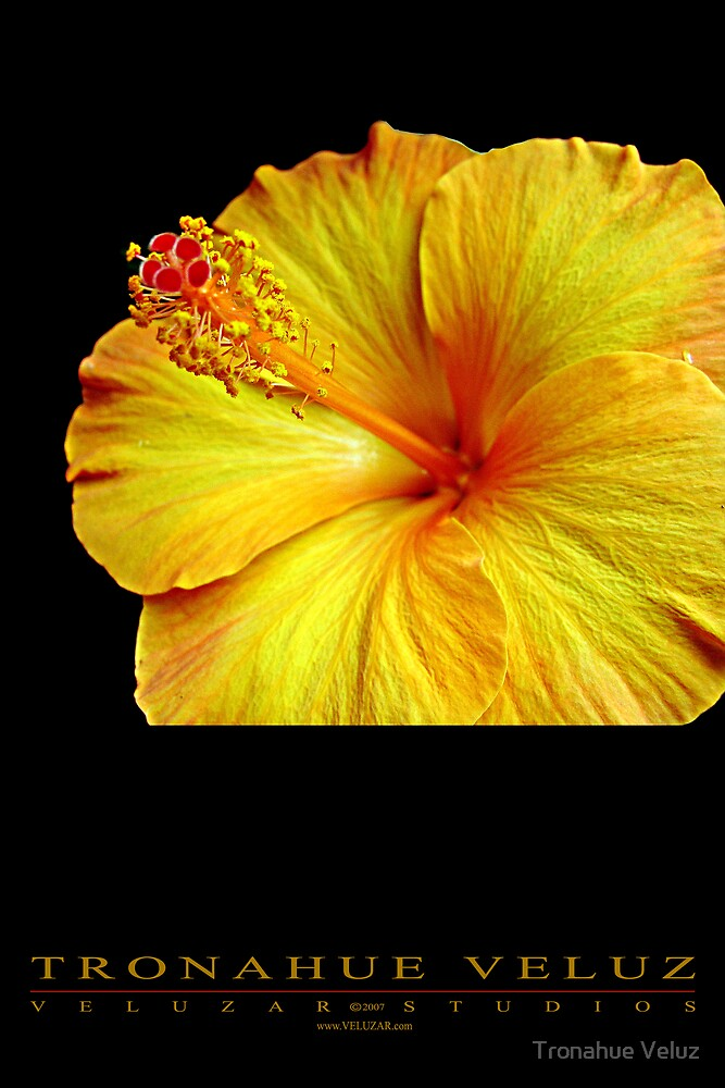 Hibiscus - Flower Series by Tronahue Veluz