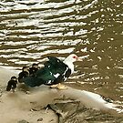 Duck with Ducklings by Christine  Wilson