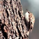 Brown Tree Creeper by Nazareth