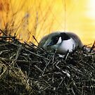 Nesting Canadian Goose by Nazareth