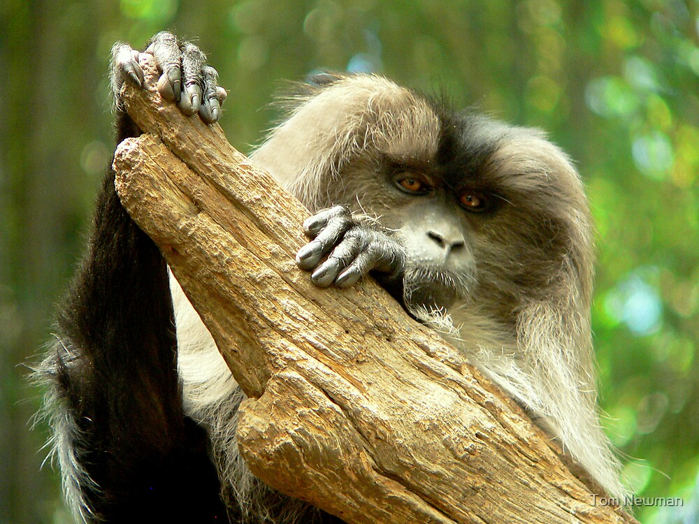 Lion-Tailed Macaque IV by Tom Newman