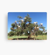 goats in trees Canvas Print