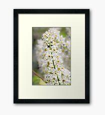 White brush of cherry. Framed Print