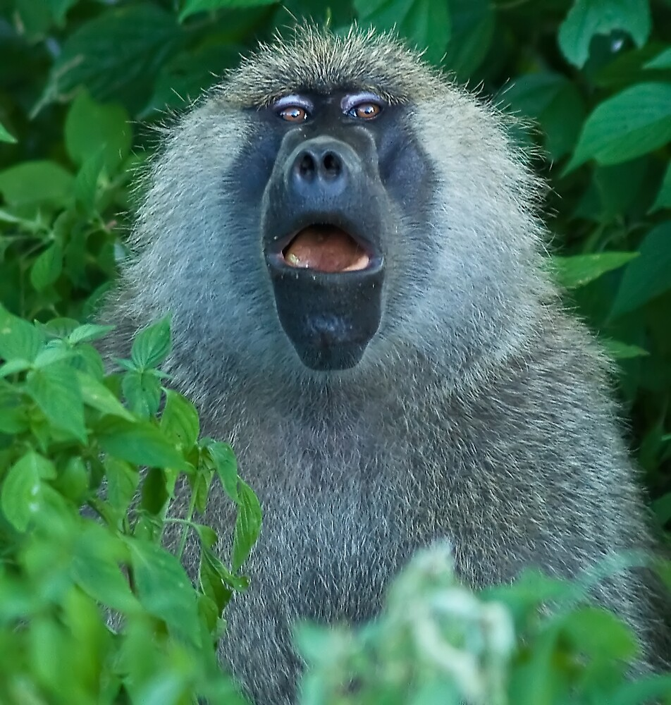 Baboon by Mike Needham