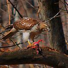 Red-Tailed Hawk with prey  by Robert Burns Miller