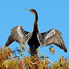 An Anhinga's pride by Franklin Lindsey
