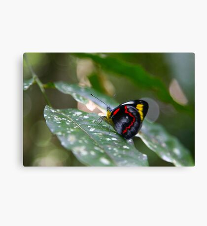 Butterfly, Malanda Canvas Print