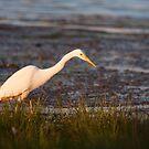 Great White Egret by Scott Carr