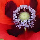 inside a poppy flower by BigAndRed