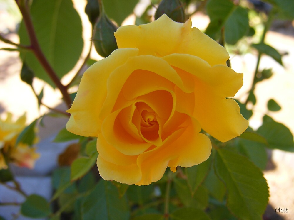 Yellow Rose by Melt