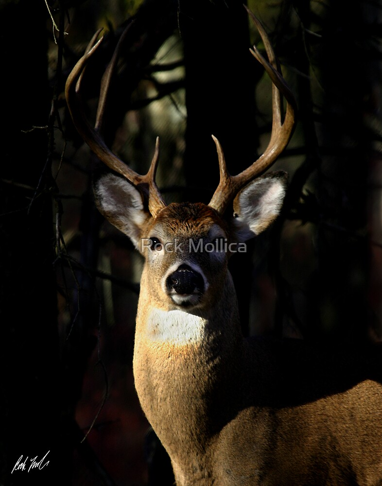 Whitetail Buck by Rock Mollica