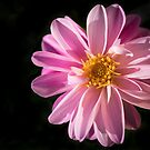 Sunshine on a Perfect Dahlia by Clare Colins