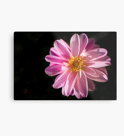 Sunshine on a Perfect Dahlia Metal Print