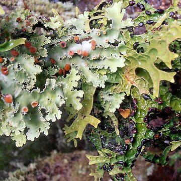 Lichen Spores, Cradle Mountain, Tasmania, Australia.  by kaysharp
