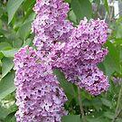 Lilac by Ana Belaj