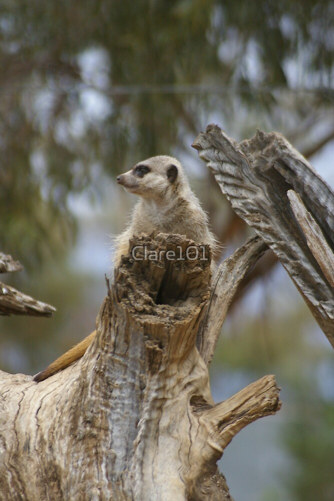 Meerkat On The Look Out by Clare101
