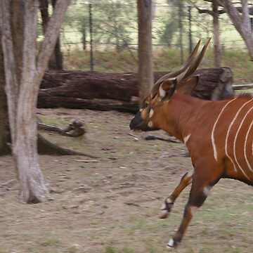 Running Bongo by Clare101