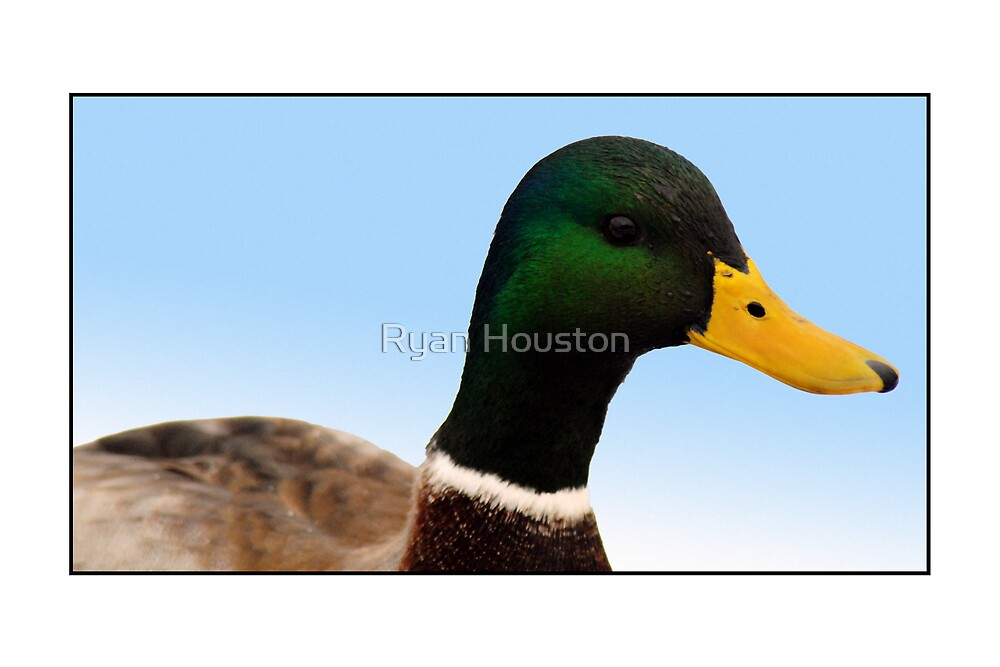 Male Mallard Duck by Ryan Houston