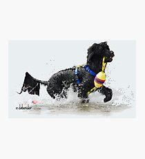 Lámina fotográfica Perro de agua portugués recuperando una línea de flotación amarilla