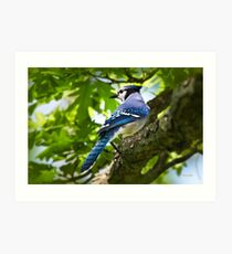 Blue Jay Portrait Art Print