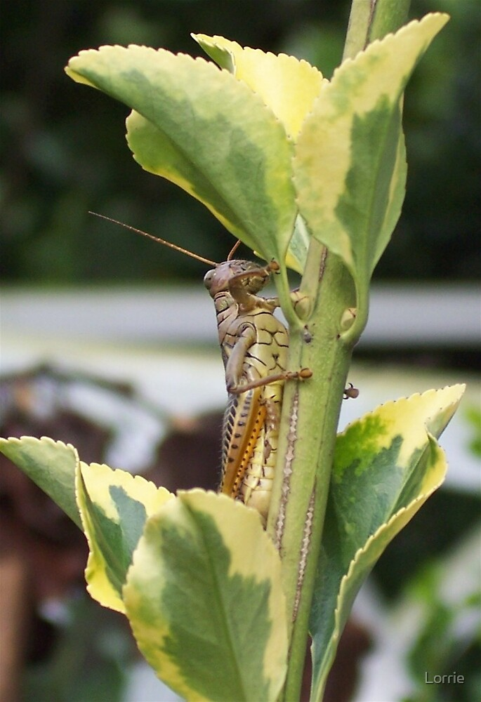 grasshopper by Lorrie